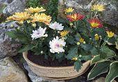 Chrysanthemums And Stones