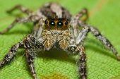 Macro de aranha saltadora