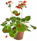 Potted plant of red Geranium Pelargonium isolated on white