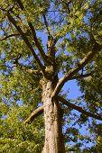 Red Pin Oak Tree