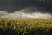 Okanagan Valley Corn Field Irrigation