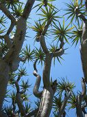 image of semi-arid  - tall dracaena dragon tree - JPG
