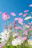 Beautiful Flowers Cosmos