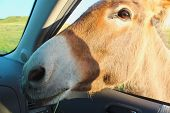 stock photo of burro  - Burro up close and personal head through the car window - JPG