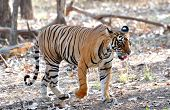 pic of tigress  - Tigress Hiding Her Cubs  - JPG