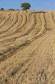 paisajes, campos y la cosecha del trigo