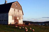 Sheep Grazing, Maine
