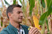 Agricultor em campo verificação em maçarocas