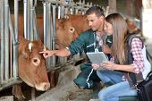 image of cattle breeding  - Farmer and veterinarian checking on cows - JPG