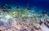 School Of Fish That Includes Trigger Fish And Yellowtail Snapper