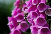 Bumble Bee Pollinating Foxglove Blooms