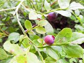 Red Blueberries