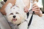 stock photo of harness  - Owner of the dog attaching safety leash to harness to make a journey safe - JPG