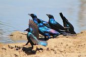 Starling Flutter of Color - Glossy Beauties from wild and free Africa