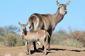 Waterbuck - Animal Baby Background from beautiful Africa