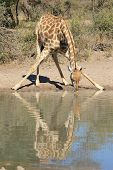 Giraffe - Split Reflection of Quenching thirst - Wildlife from Africa.