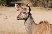 Kudu - Wildlife Background from Africa - Listen and Survive