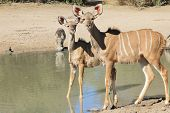 Kudu Antelope Calf - Wildlife Background from Africa