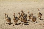 image of ostrich plumage  - A flock of Ostrich chicks run towards a watering hole in the wilds of Africa - JPG