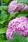 pink hortensia in the garden closeup