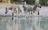 Zebra - African Wildlife der legendären Schönheit und Streifen