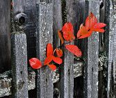Branch Aronia on a wooden fence