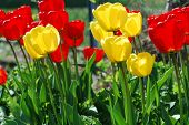 Lots Of Colorful Tulips