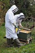 picture of bee keeping  - Beekeepers dressed in protective suits to carrying out maintenance checks on their bee hive using a smoker to calm the bees - JPG