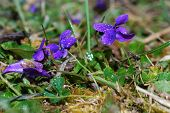 Many Violet