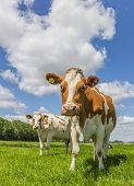 Brown And White Cows In The Green Grass