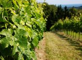 Vineyard with beautiful leaves in foreground