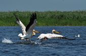 Grandes pelícanos blancos en el Delta del Danubio