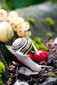 Helix Pomatia  edible snails in forest