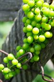 young grapes on a vineyard