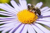Honey bee on a blue daisy