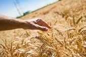 Farmer Hand In Wheat Field