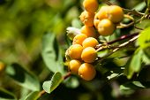 European Rowan Sorbus Aucuparia With Orange Berries In Autumn