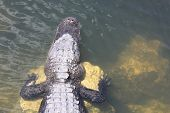 picture of crocodilian  - a picture of an alligator in the sunlight - JPG