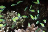 Coral And Bluegreen Chromis