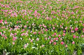Pink Tulips Field In Sunny Day