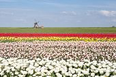 Colorful Tulip Field And Dutch Windmill In Spring