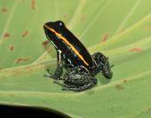 Golfo Dulce Dart Frog _ 10