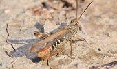Locusts On The Ground Closeup