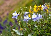 stock photo of columbine  - Columbine wildflowers blooming in the Colorado mountains summer - JPG