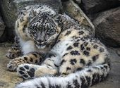 picture of panthera uncia  - Close - JPG