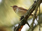 stock photo of brown thrush  - A Swainson - JPG
