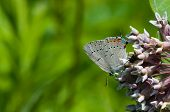 image of acadian  - Acadian Hairstreak butterfly feeding from a native wildflower - JPG