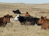 picture of prairie  - Beef Cattle resting in a native prairie pasture - JPG