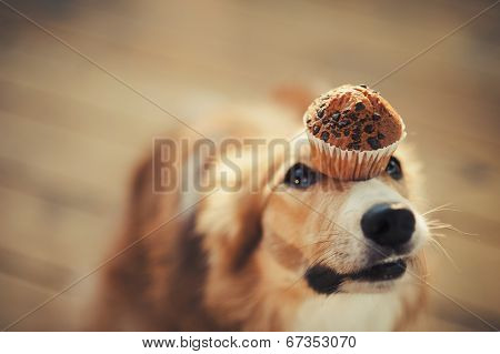 border collie dog keeps cake on her nose poster