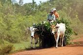 SIEM REAP, CAMBODIA, DECEMBER 04 : Cambodian farmers driving an oxcart loaded with fresh foliage on